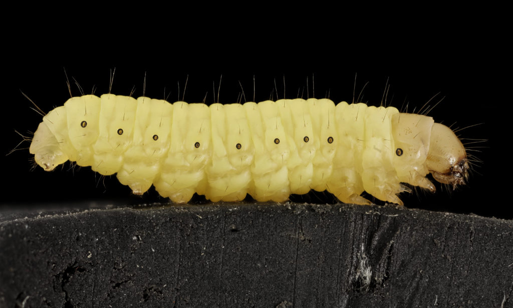 Picture of a common wax worm that has been found to have the abilitiy to biodegrade Polyethylene.